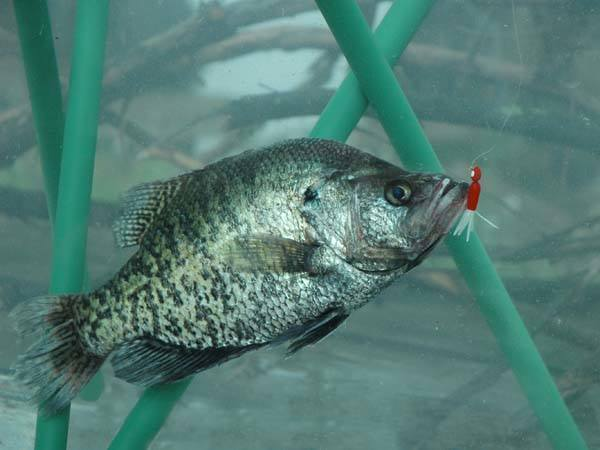 How to fish for crappies the best tips and tricks for Crappie fishing game