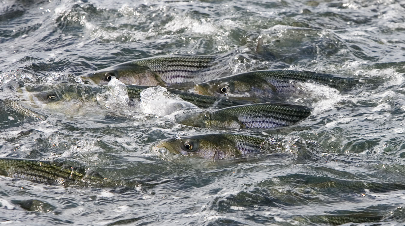 Top 5 tips on how to go about lake erie steelhead fishing for Plenty of fish erie pa