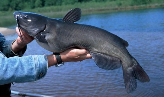 Top tips on how to successfully night fish for channel catfish for Best time to fish for catfish