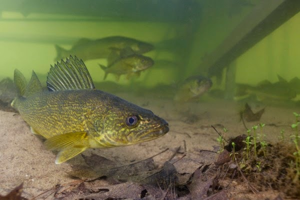 how-to-fish-walleyes