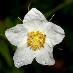 Thimbleberry_flower_10 Spring Herbal Tea Plants of the Pacific Northwest-gearweare