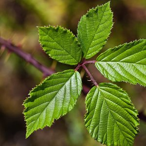 foliage-blackberry-leaves-10 Spring Herbal Tea Plants of the Pacific Northwest-gearweare