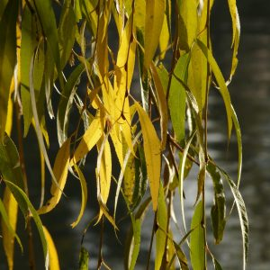 willow-leaves-10711_1920-10 Spring Herbal Tea Plants of the Pacific Northwest-gearweare