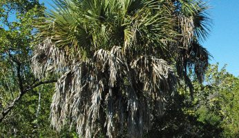 Wild Edibles Profile: Cabbage Palm