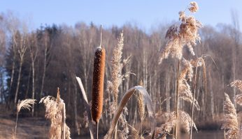 Wild food profile of Cattails