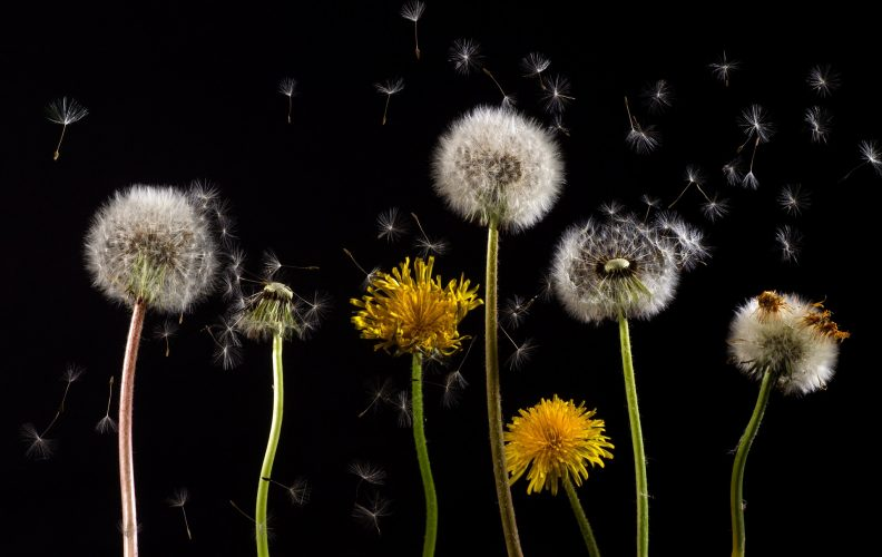 Wild Food Profile: Dandelion