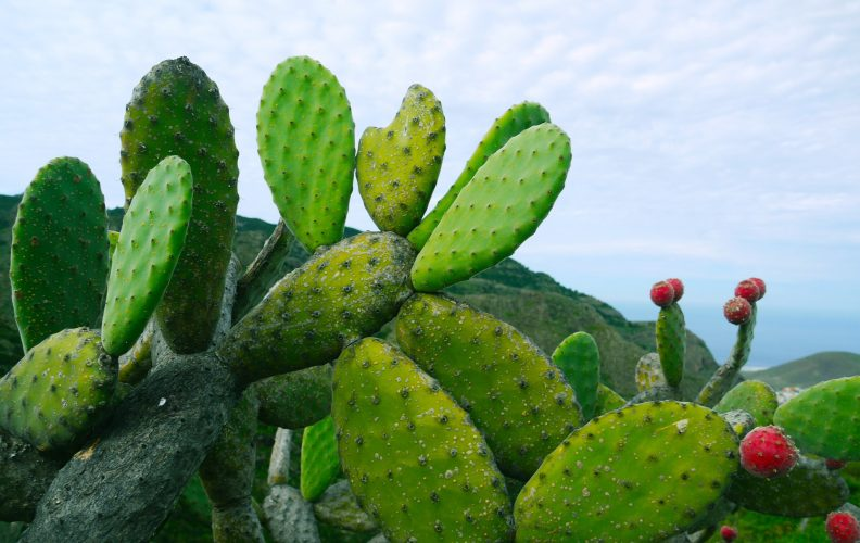 Prickly Pear Profile