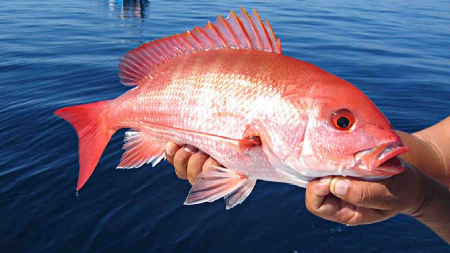 Tips on Catching Florida Red Snapper