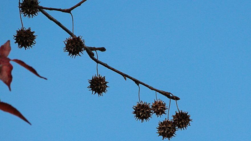 A profile of the sweet gum tree