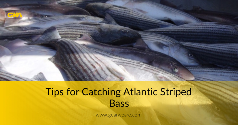 Tips for catching atlantic striped bass the best way for Striped bass fishing tips